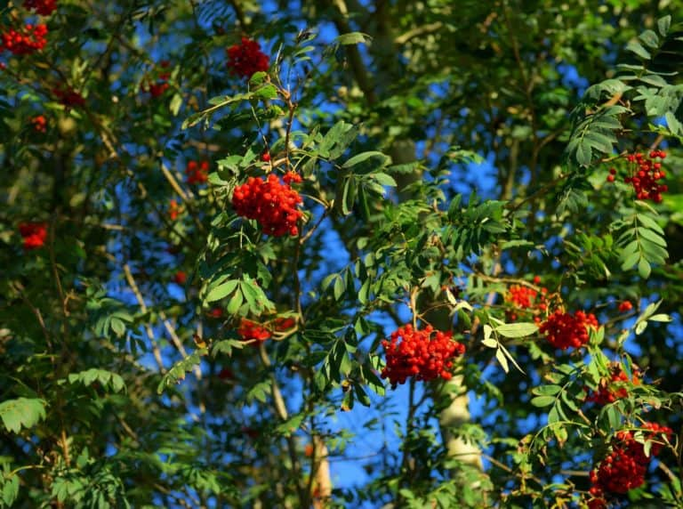 rowan tree mountain ash